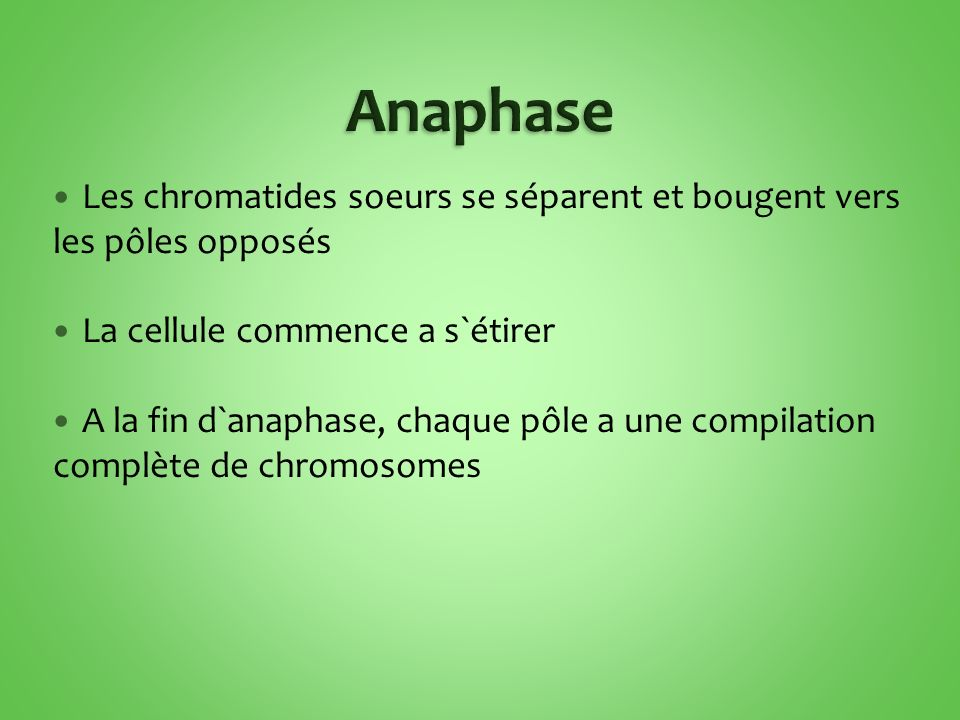 Anaphase Les chromatides soeurs se séparent et bougent vers les pôles opposés. La cellule commence a s`étirer.