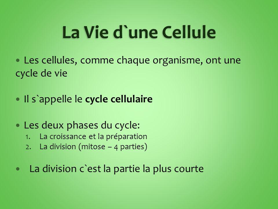La Vie d`une Cellule Les cellules, comme chaque organisme, ont une cycle de vie. Il s`appelle le cycle cellulaire.