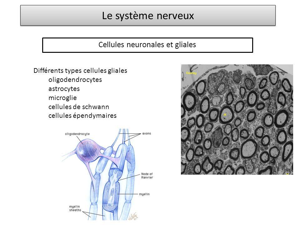 Cellules neuronales et gliales