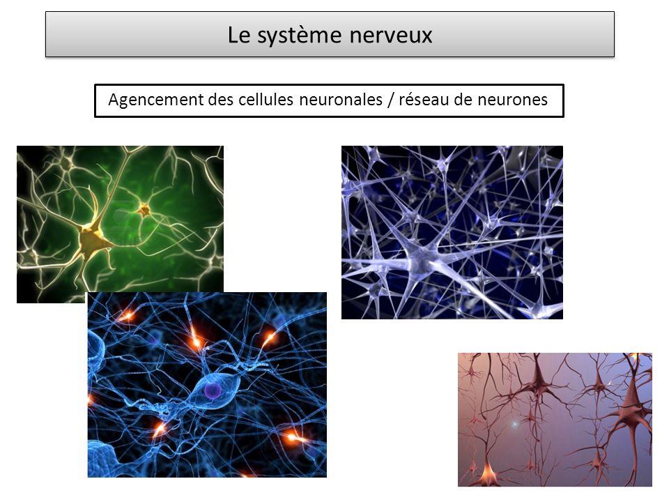 Agencement des cellules neuronales / réseau de neurones