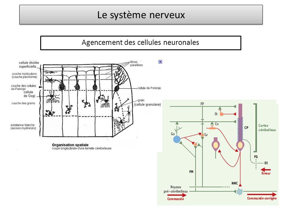 Agencement des cellules neuronales