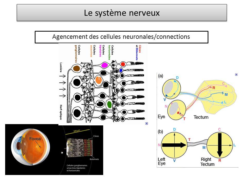 Agencement des cellules neuronales/connections