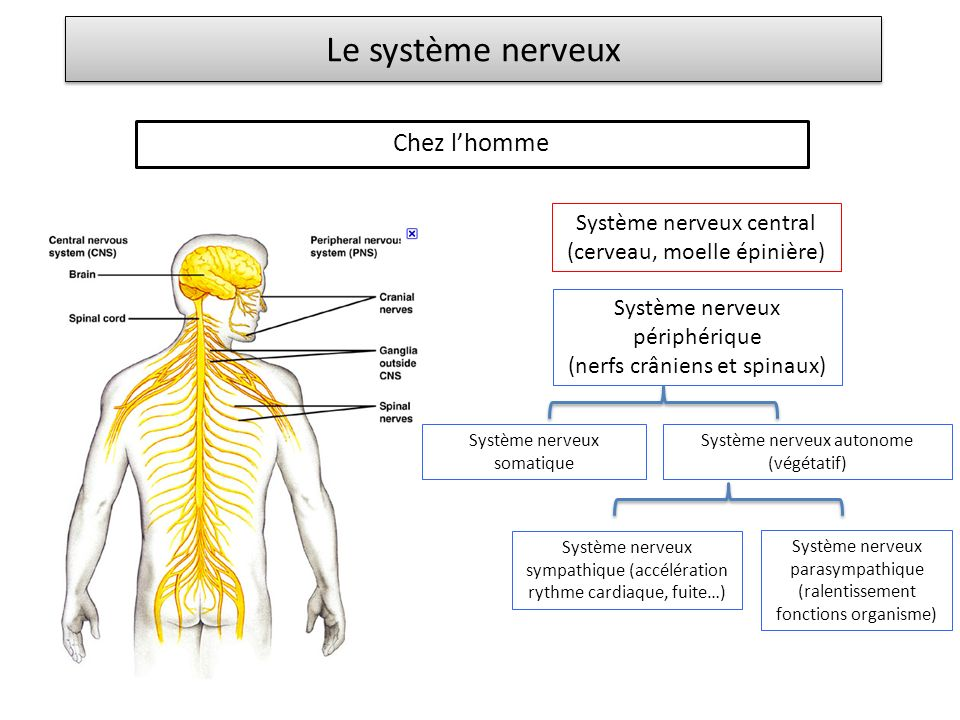 Le système nerveux Chez l'homme Système nerveux central