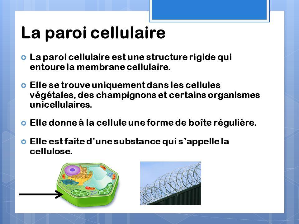 La paroi cellulaire La paroi cellulaire est une structure rigide qui entoure la membrane cellulaire.