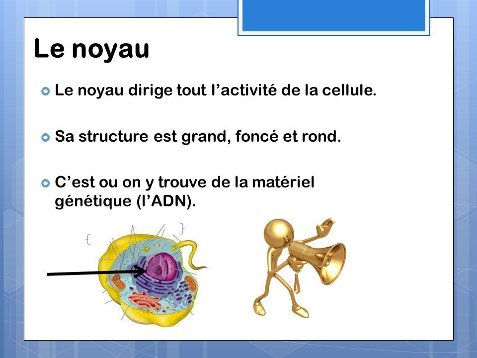 Le noyau Le noyau dirige tout l'activité de la cellule.