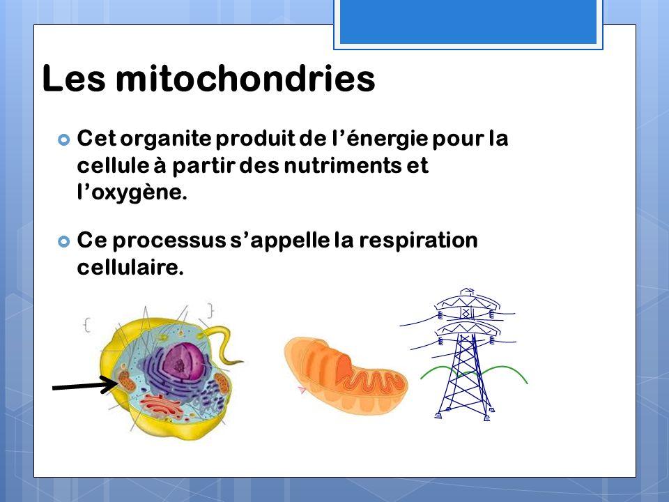 Les mitochondries Cet organite produit de l'énergie pour la cellule à partir des nutriments et l'oxygène.