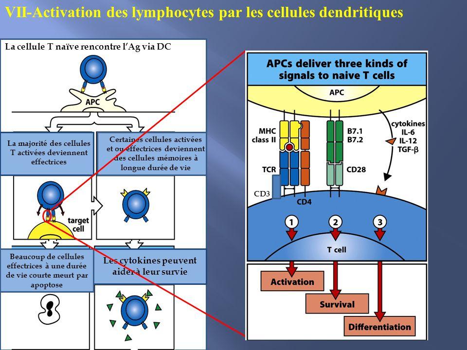 VII-Activation des lymphocytes par les cellules dendritiques
