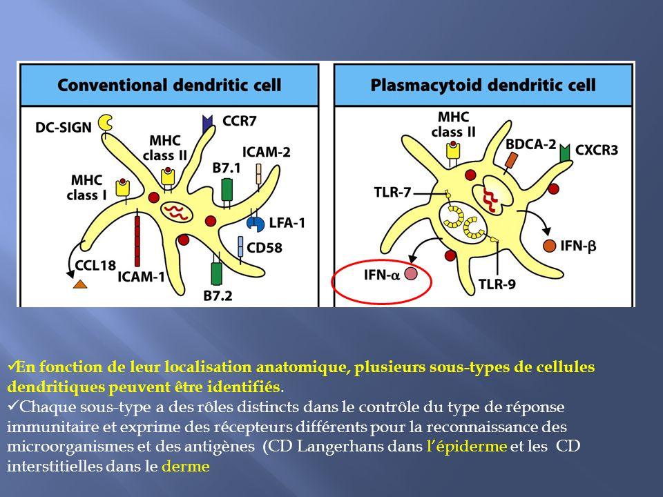 En fonction de leur localisation anatomique, plusieurs sous-types de cellules dendritiques peuvent être identifiés.