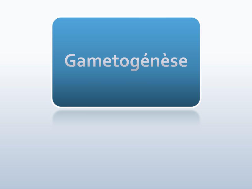 Gametogénèse