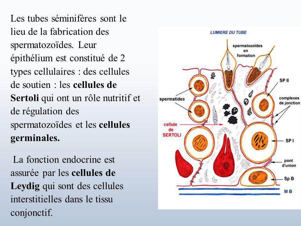 Les tubes séminifères sont le lieu de la fabrication des spermatozoïdes. Leur épithélium est constitué de 2 types cellulaires : des cellules de soutien : les cellules de Sertoli qui ont un rôle nutritif et de régulation des spermatozoïdes et les cellules germinales.