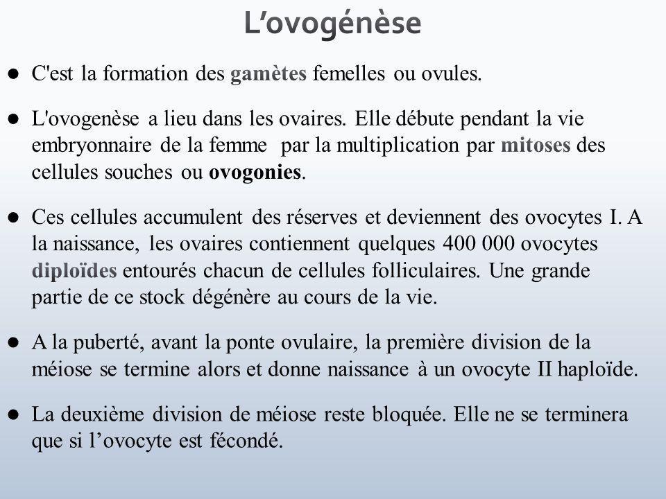 L'ovogénèse C est la formation des gamètes femelles ou ovules.