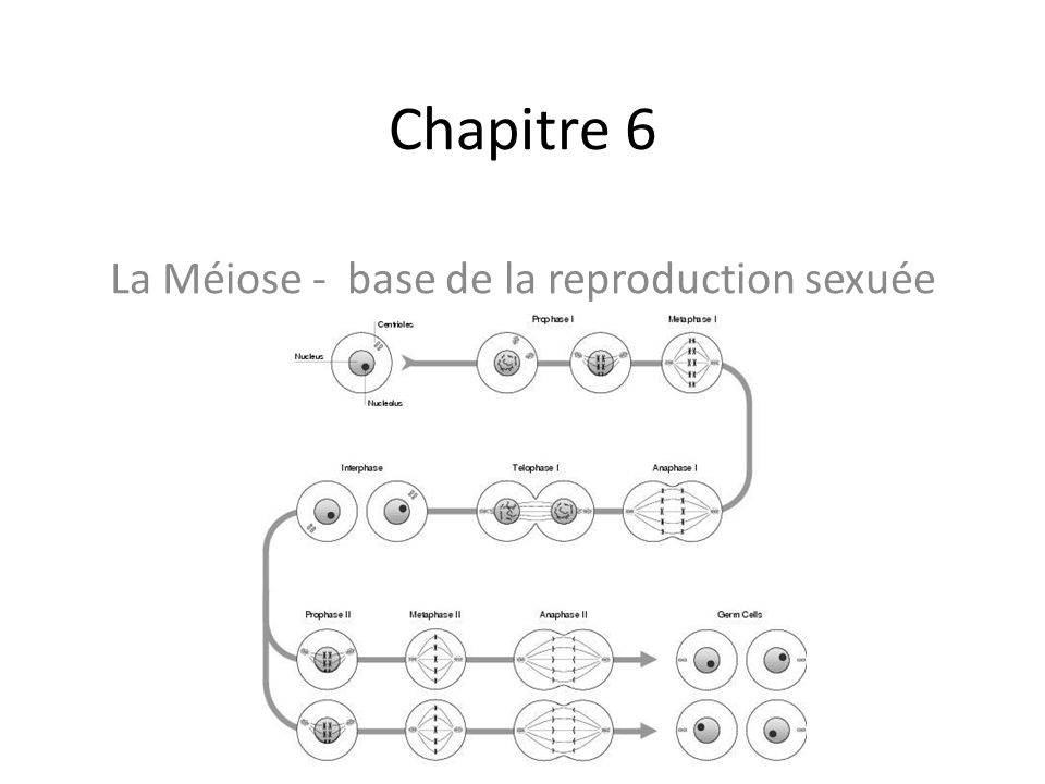 La Méiose - base de la reproduction sexuée