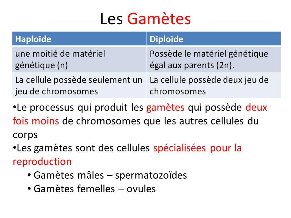 Les Gamètes Haploïde. Diploïde. une moitié de matériel génétique (n) Possède le matériel génétique égal aux parents (2n).