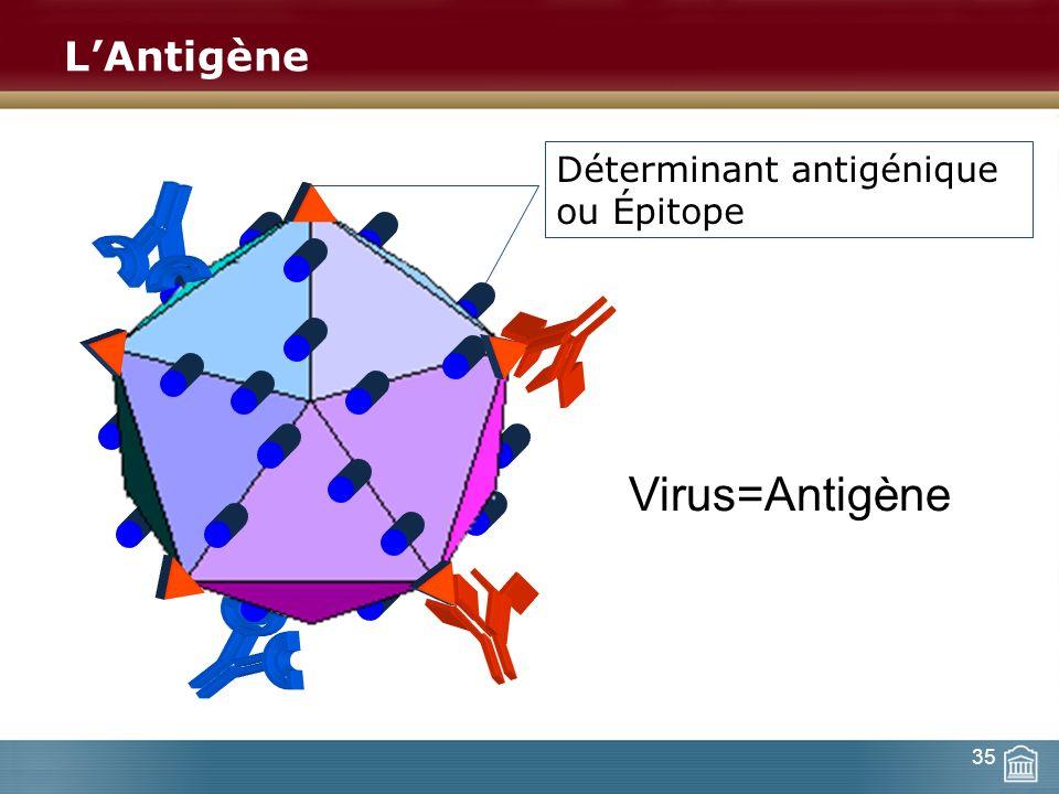 L'Antigène Déterminant antigénique ou Épitope Virus=Antigène 35