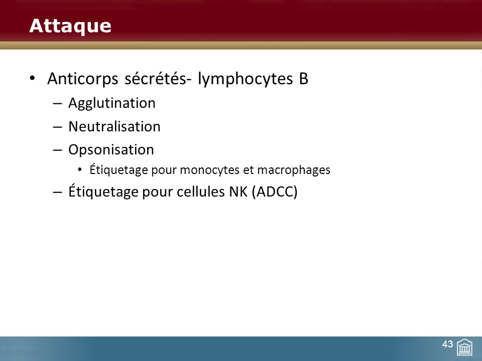 Anticorps sécrétés- lymphocytes B