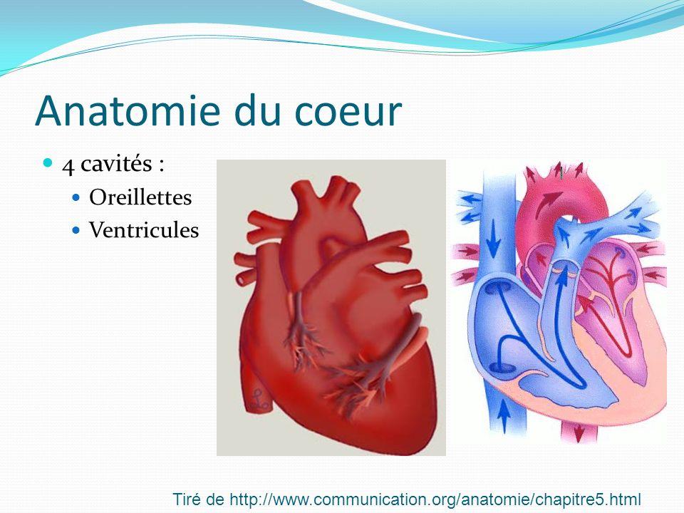 Anatomie du coeur 4 cavités : Oreillettes Ventricules