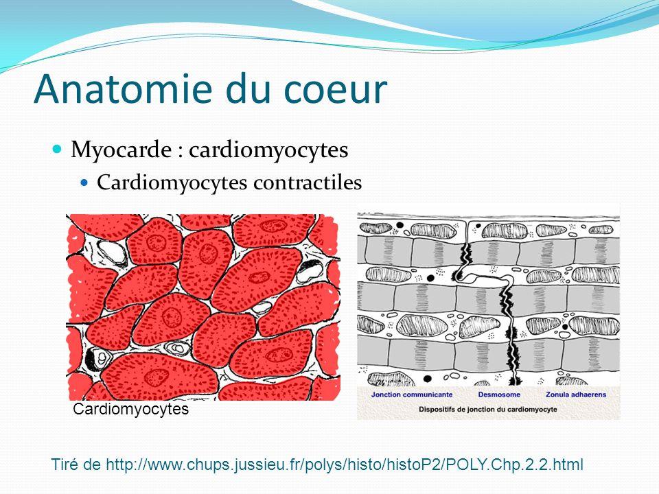 Anatomie du coeur Myocarde : cardiomyocytes