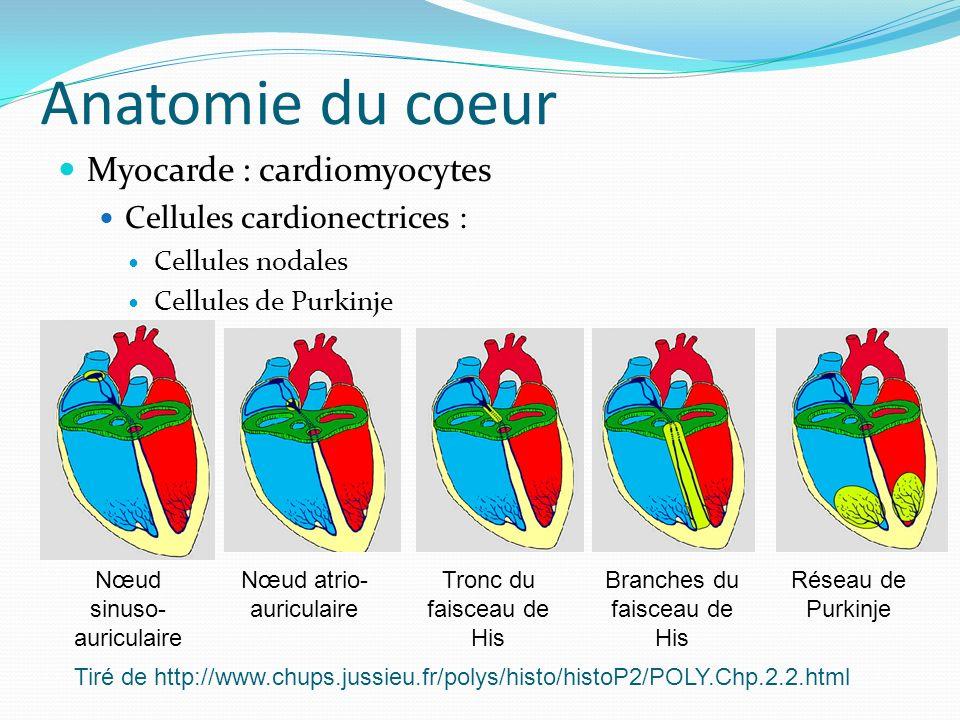 Anatomie du coeur Myocarde : cardiomyocytes Cellules cardionectrices :
