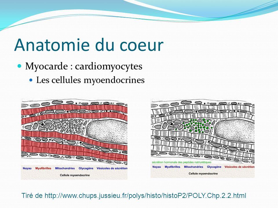 Anatomie du coeur Myocarde : cardiomyocytes Les cellules myoendocrines
