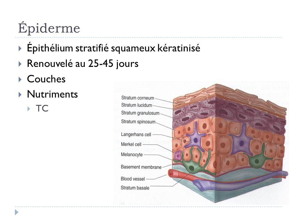 Épiderme Épithélium stratifié squameux kératinisé
