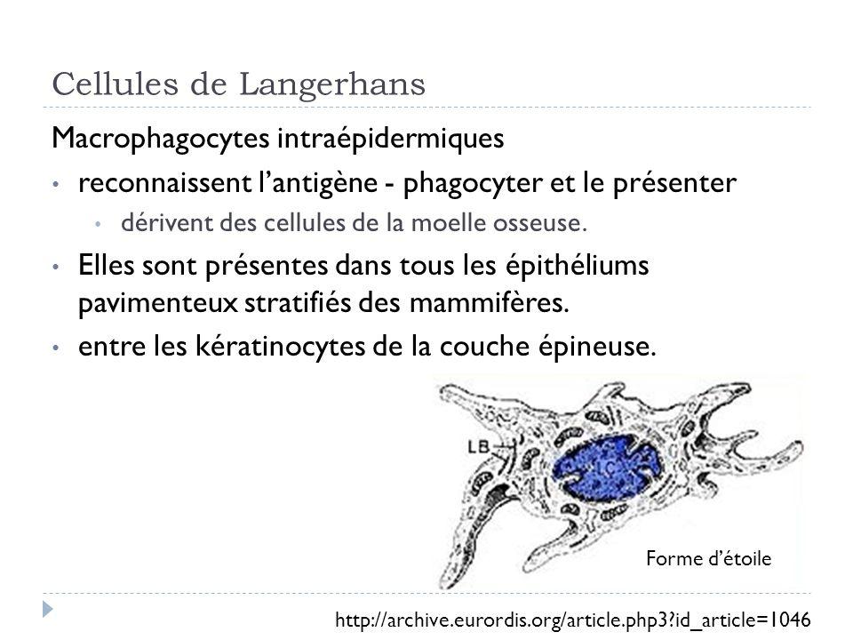 Cellules de Langerhans