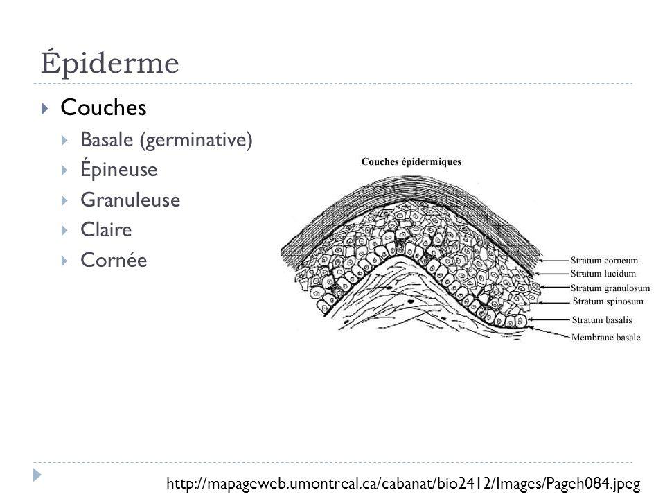 Épiderme Couches Basale (germinative) Épineuse Granuleuse Claire