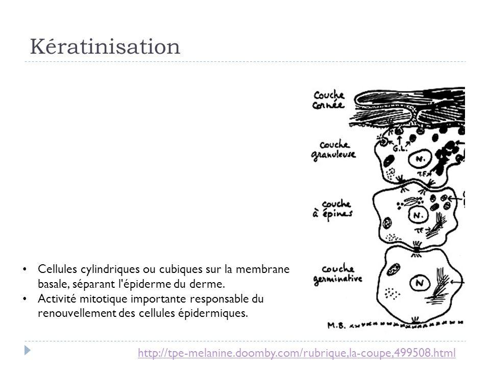 Kératinisation Cellules cylindriques ou cubiques sur la membrane basale, séparant l épiderme du derme.