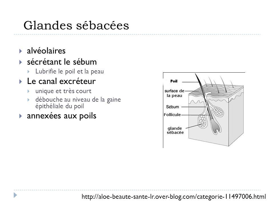 Glandes sébacées alvéolaires sécrétant le sébum Le canal excréteur