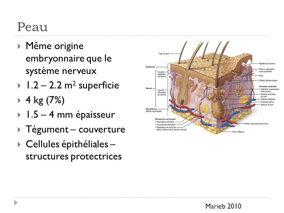 Peau Même origine embryonnaire que le système nerveux