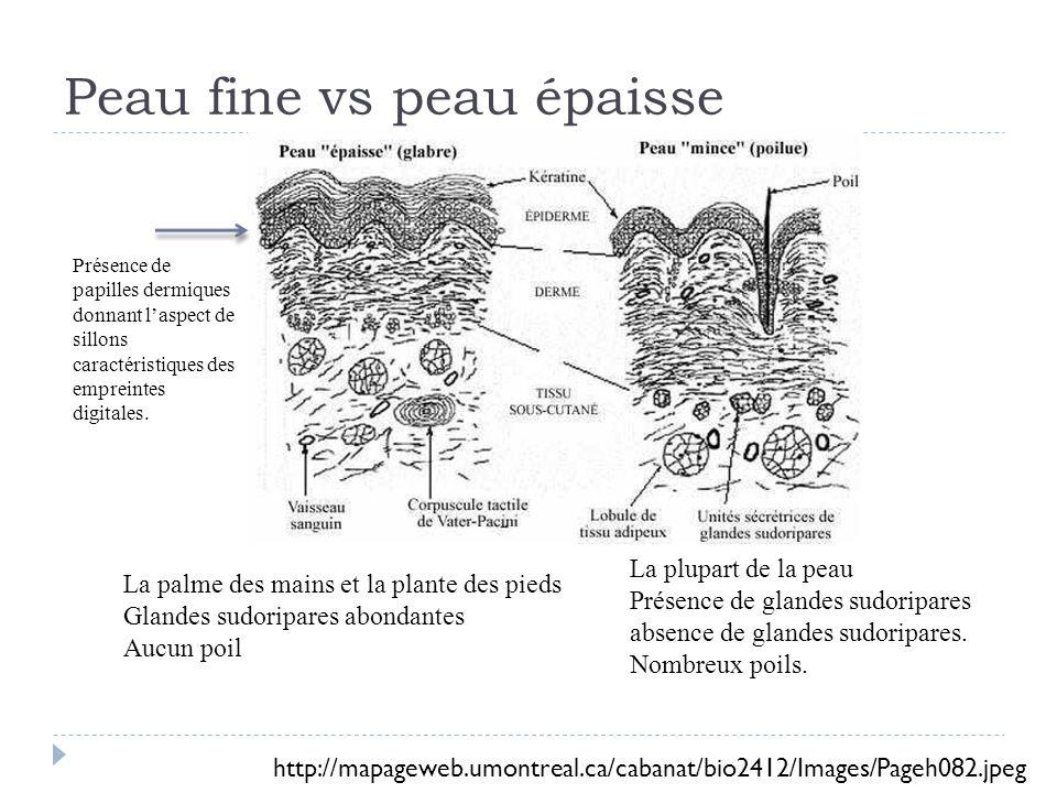 Peau fine vs peau épaisse
