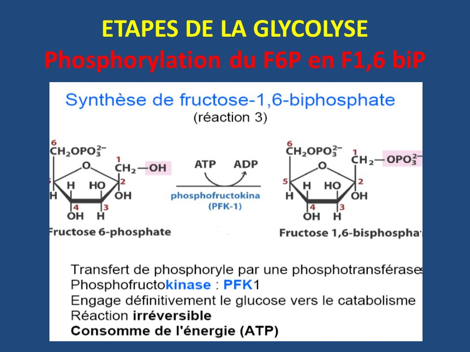 ETAPES DE LA GLYCOLYSE Phosphorylation du F6P en F1,6 biP