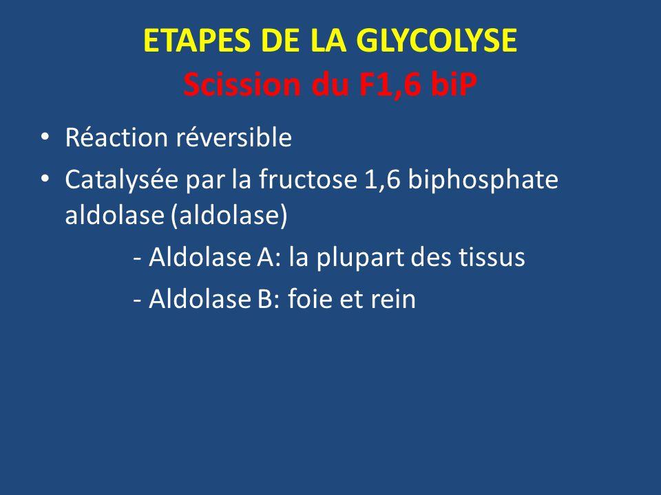 ETAPES DE LA GLYCOLYSE Scission du F1,6 biP
