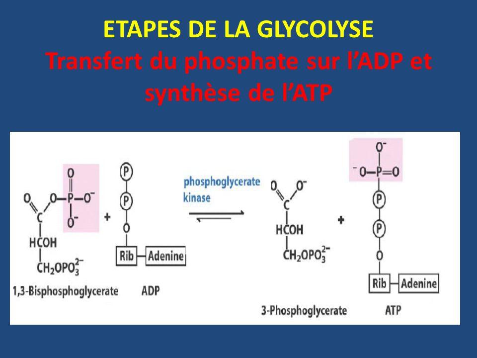 ETAPES DE LA GLYCOLYSE Transfert du phosphate sur l'ADP et synthèse de l'ATP