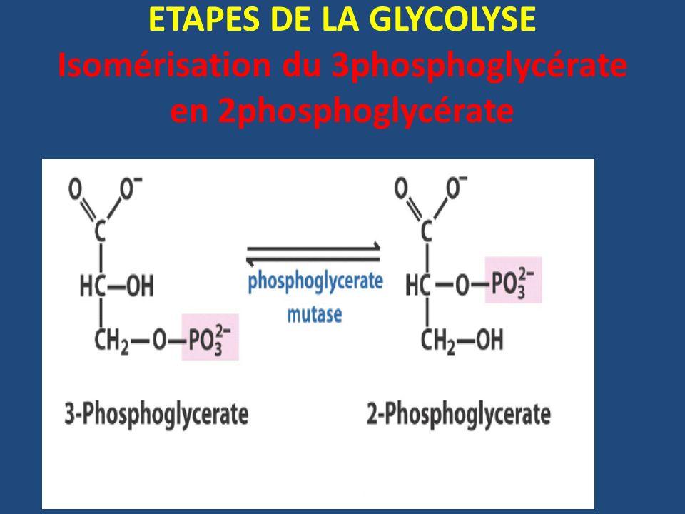 ETAPES DE LA GLYCOLYSE Isomérisation du 3phosphoglycérate en 2phosphoglycérate