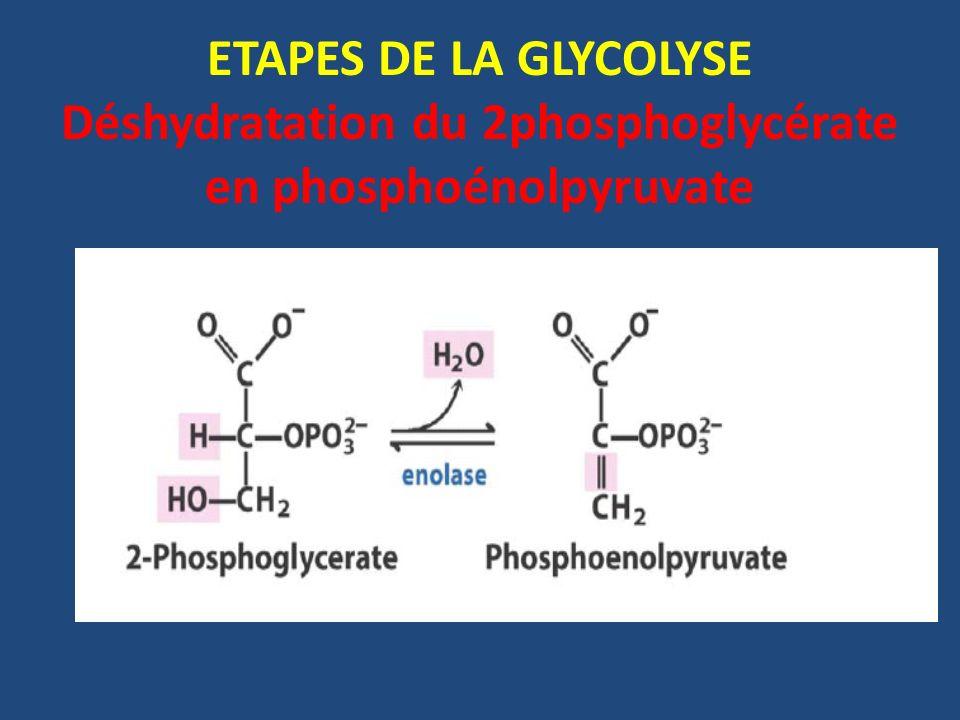 ETAPES DE LA GLYCOLYSE Déshydratation du 2phosphoglycérate en phosphoénolpyruvate