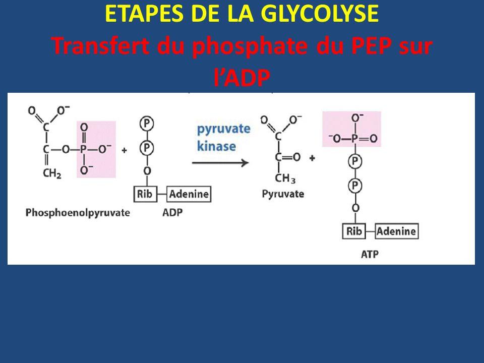 ETAPES DE LA GLYCOLYSE Transfert du phosphate du PEP sur l'ADP