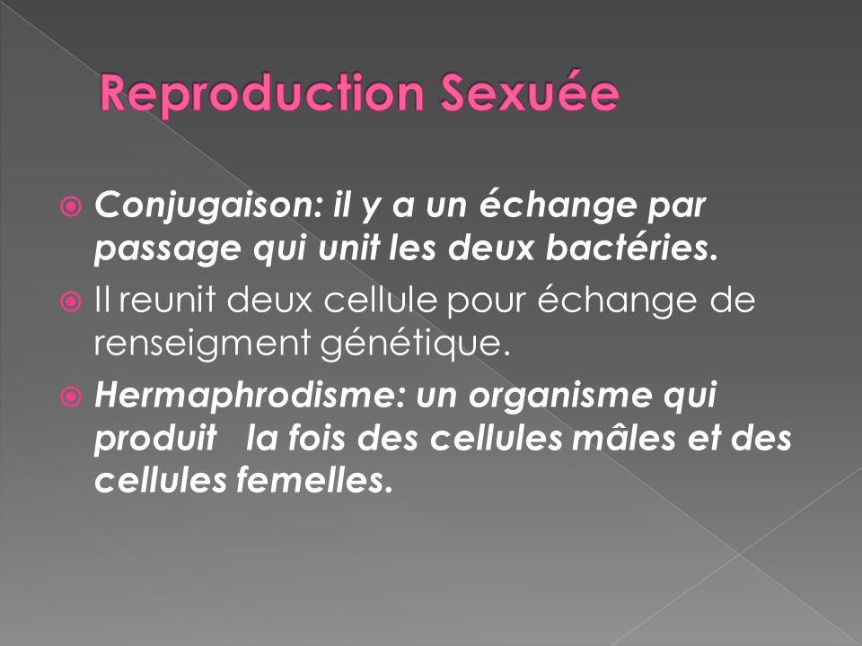 Reproduction Sexuée Conjugaison: il y a un échange par passage qui unit les deux bactéries.