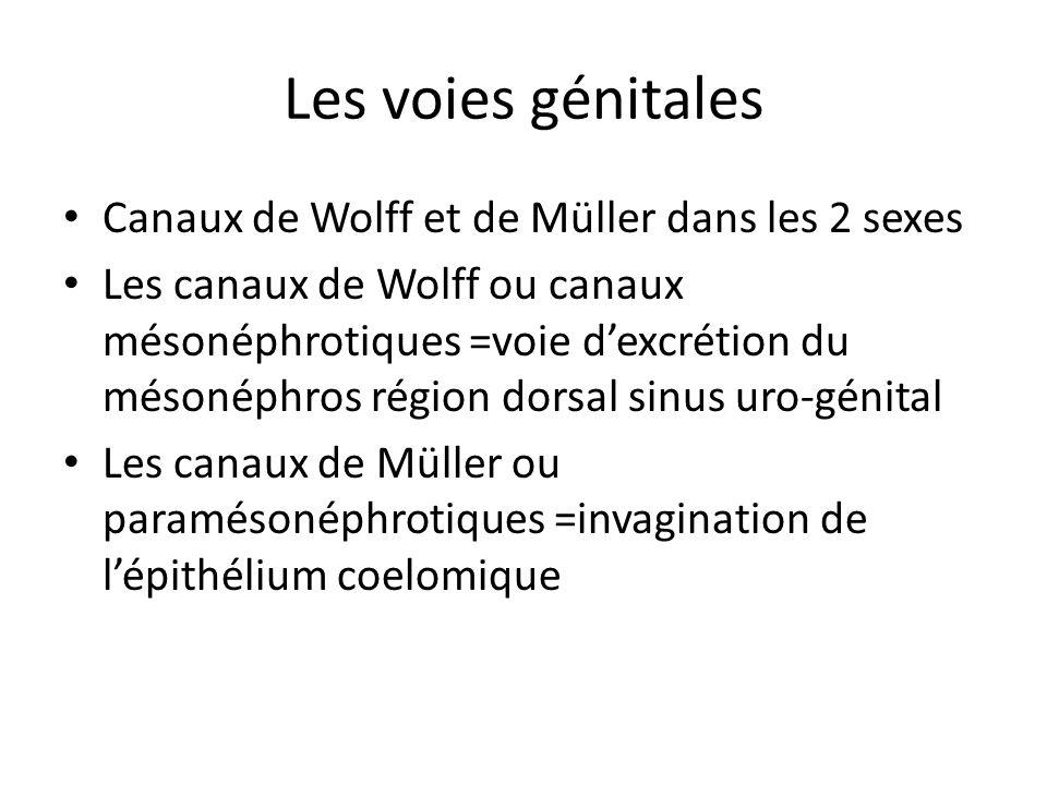 Les voies génitales Canaux de Wolff et de Müller dans les 2 sexes