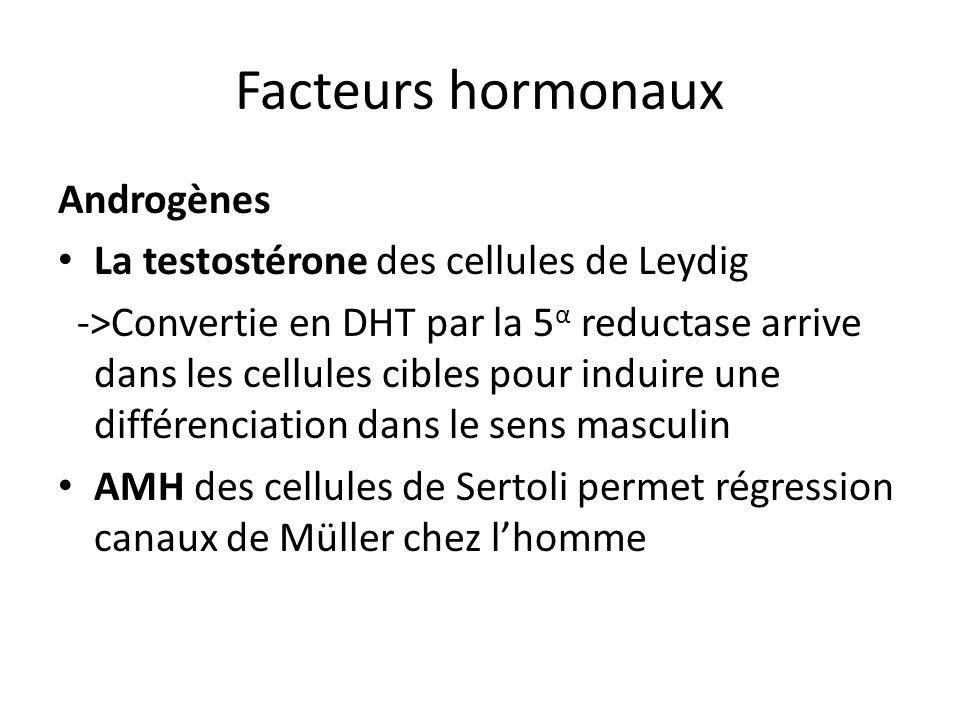 Facteurs hormonaux Androgènes La testostérone des cellules de Leydig