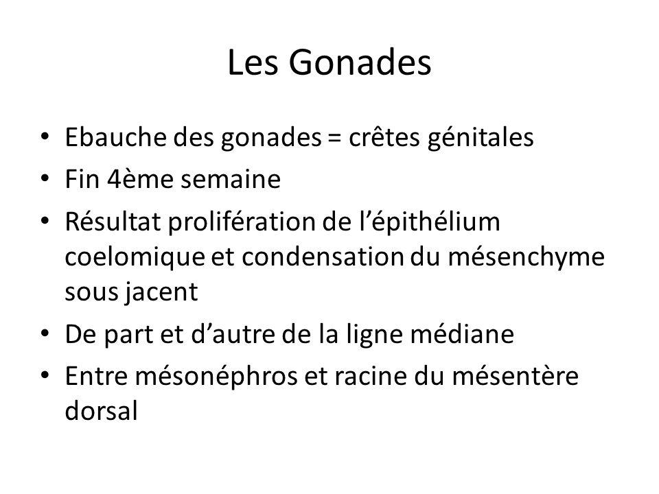Les Gonades Ebauche des gonades = crêtes génitales Fin 4ème semaine