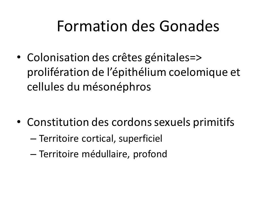 Formation des Gonades Colonisation des crêtes génitales=> prolifération de l'épithélium coelomique et cellules du mésonéphros.