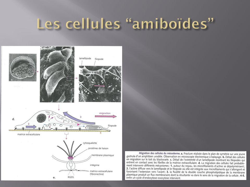 Les cellules amiboïdes