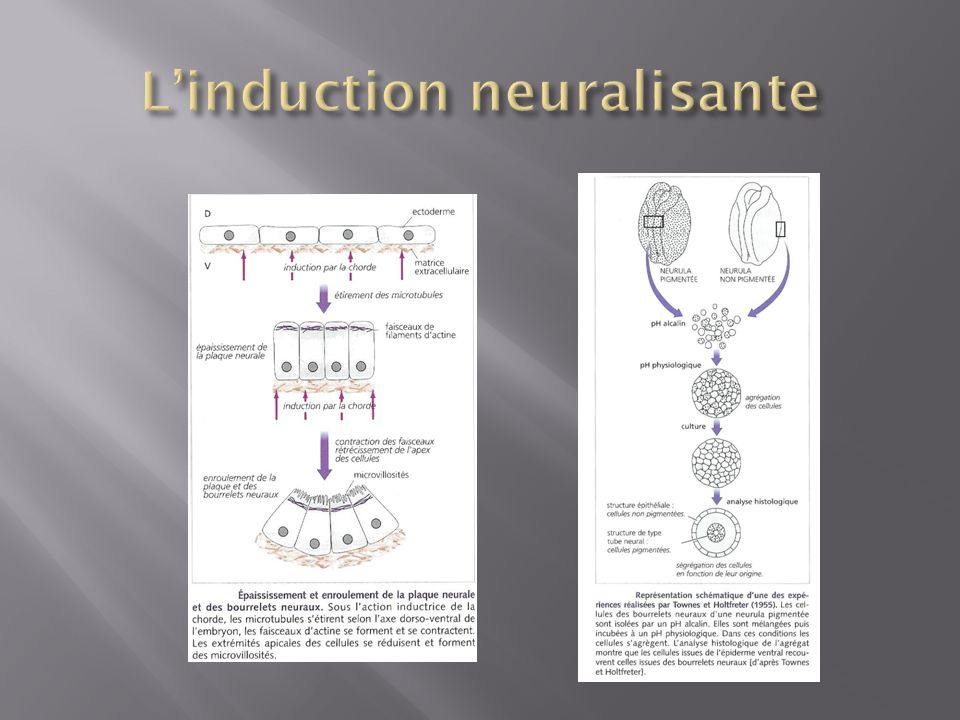 L'induction neuralisante