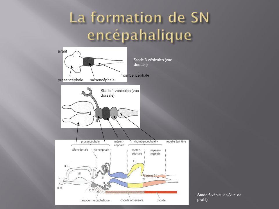 La formation de SN encépahalique