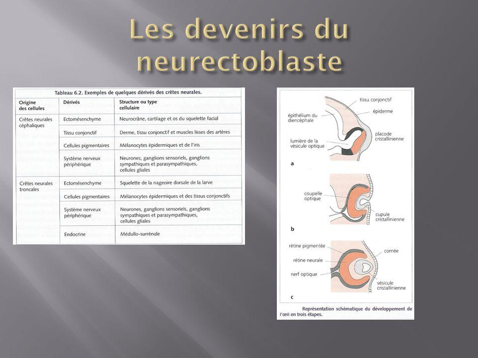 Les devenirs du neurectoblaste