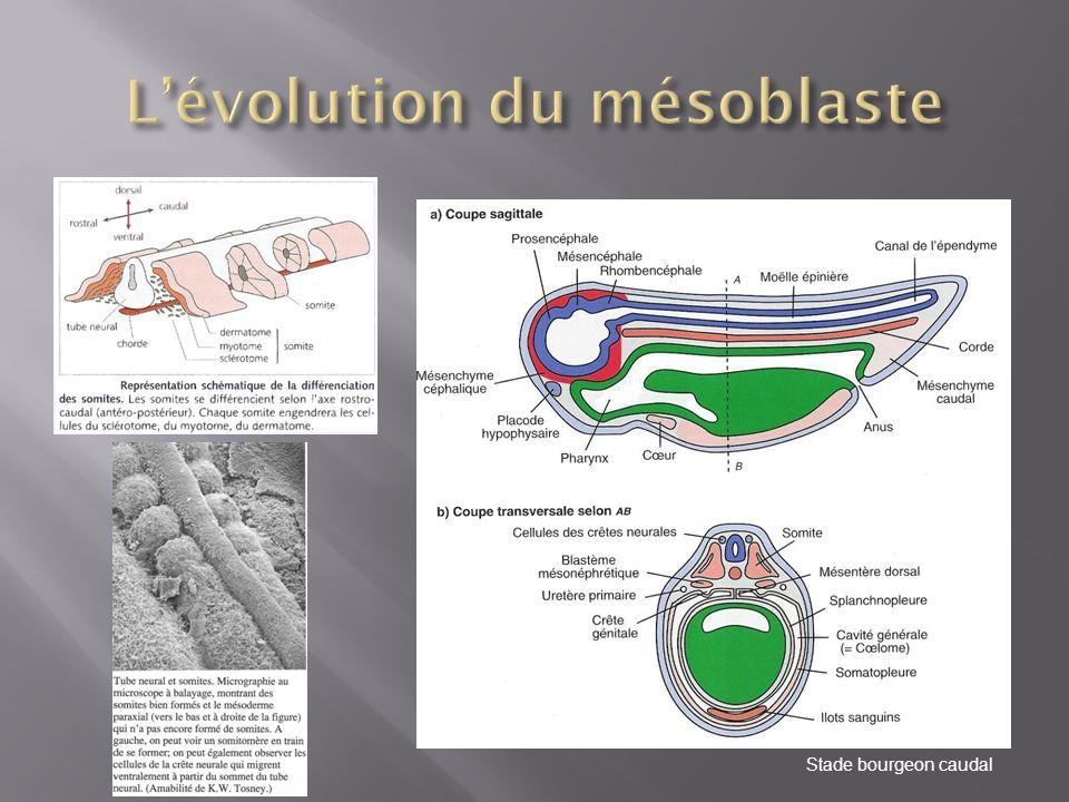 L'évolution du mésoblaste
