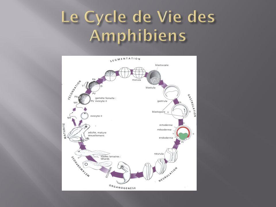 Le Cycle de Vie des Amphibiens