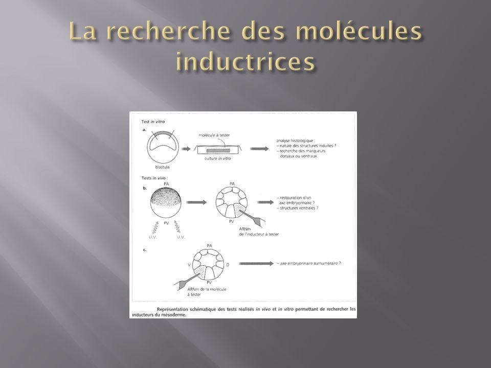 La recherche des molécules inductrices