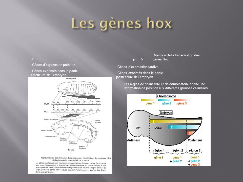 Les gènes hox 3' 5' Direction de la transcription des gènes Hox