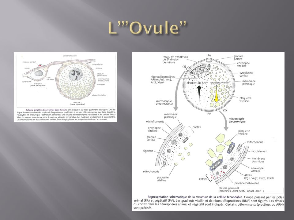 L' Ovule